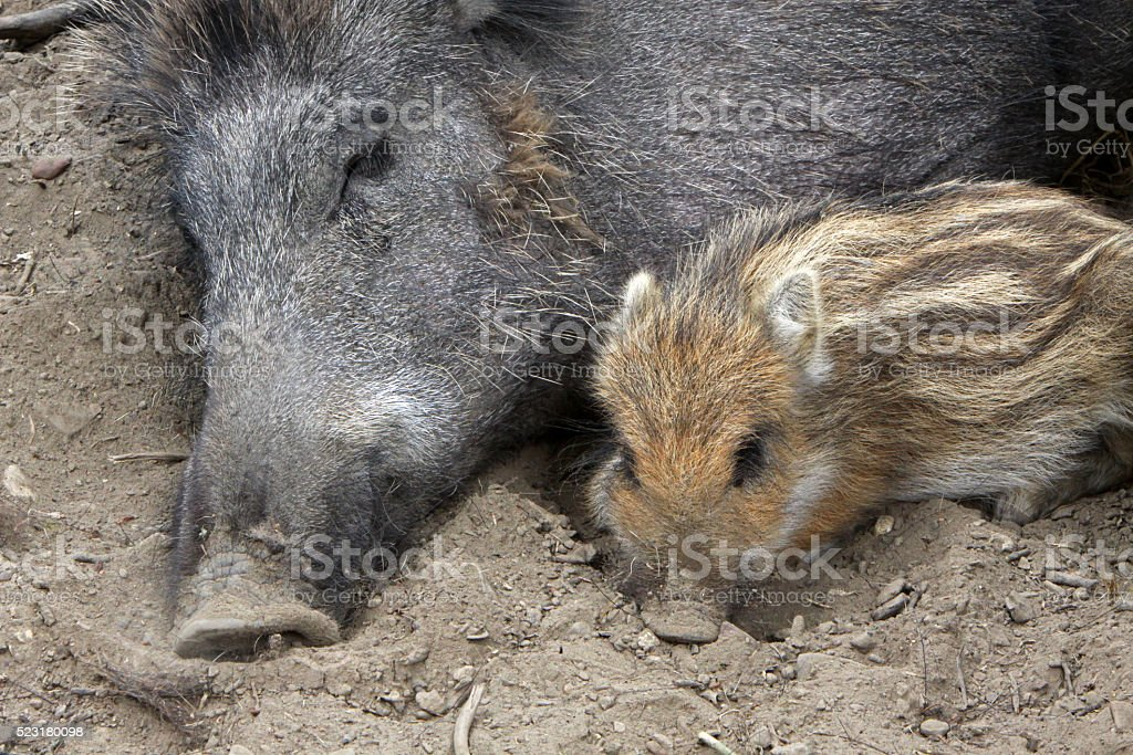 Wild boar with piglet stock photo