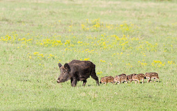 Wild boar with piglets Wild boar with cute piglets walking on grassland with spring flowers wild boar stock pictures, royalty-free photos & images