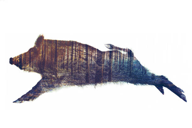 Wild Board Double Exposure Wild Board double exposure on white background. wild boar stock pictures, royalty-free photos & images