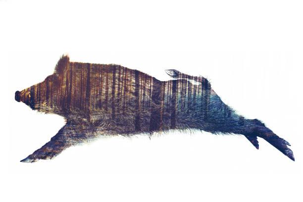 wild board double exposure - cinghiale animale foto e immagini stock