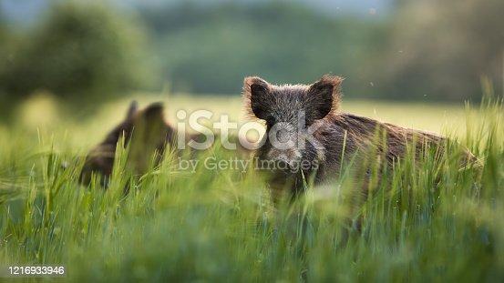 istock Wild boars feeding on green grain field in summer. 1216933946