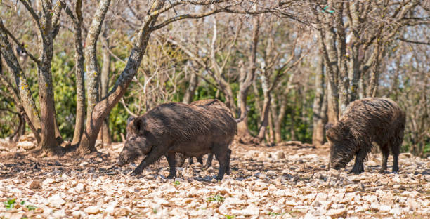 Wild boars in Provence stock photo