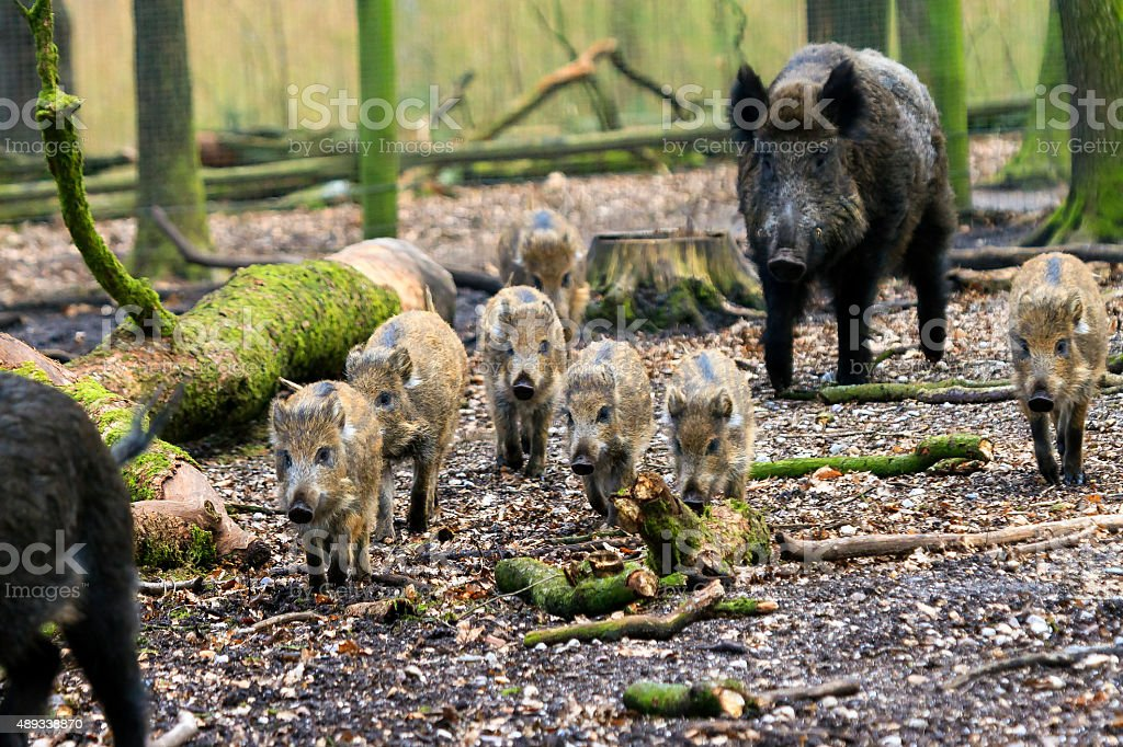 Wild boars on the move stock photo