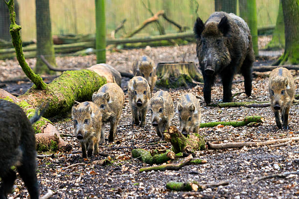 Wild boars on the move Beautiful wild boars (Sus Scrofa) in national park Het Aardhuis at the Hoge Veluwe in the Netherlands wild boar stock pictures, royalty-free photos & images