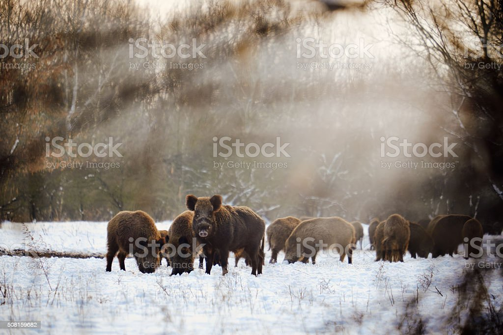 Wild boars on winter forest stock photo