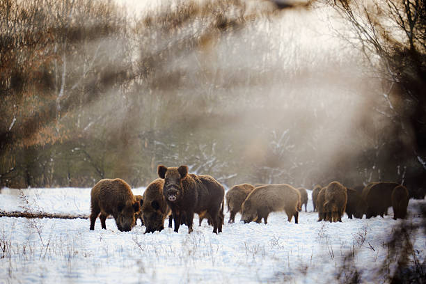Wild boars on winter forest Wild boars on winter forest wild boar stock pictures, royalty-free photos & images