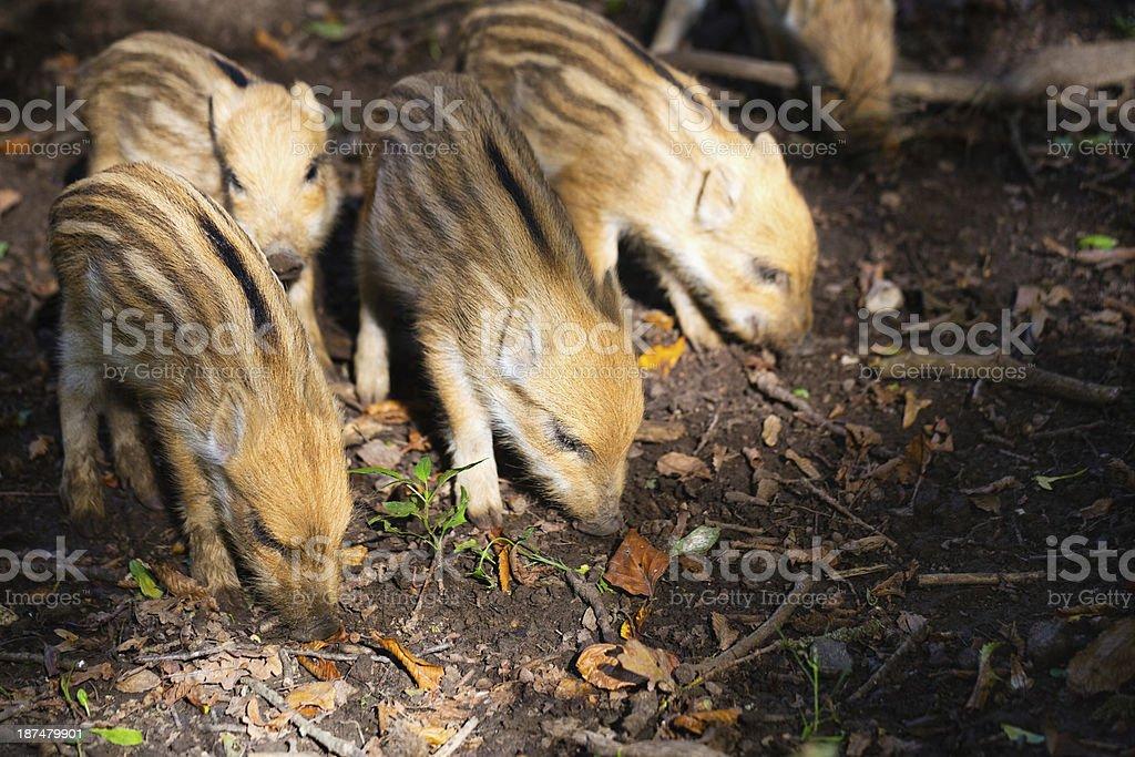 Wild boars stock photo