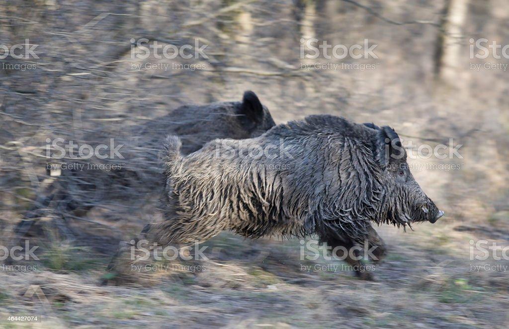 Wild boars running away stock photo
