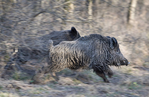 Wild boars running away Two wild boars running away in forest, panning technique of image wild boar stock pictures, royalty-free photos & images