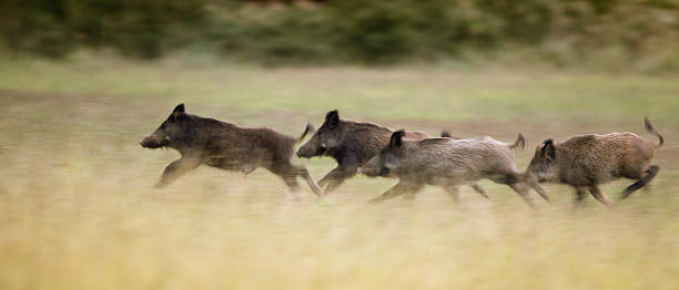 Wild boars running away Group of wild boars running in high grass in summer time, panning image technique wild boar stock pictures, royalty-free photos & images