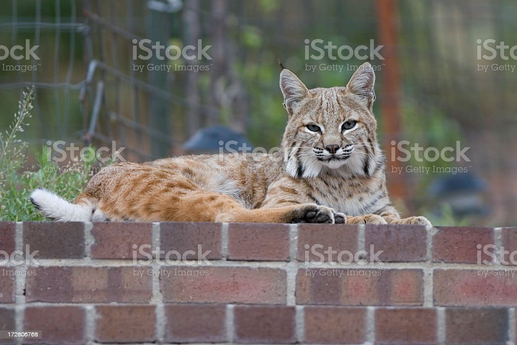 Wild bobcat rests by residential home in mountains Colorado stock photo