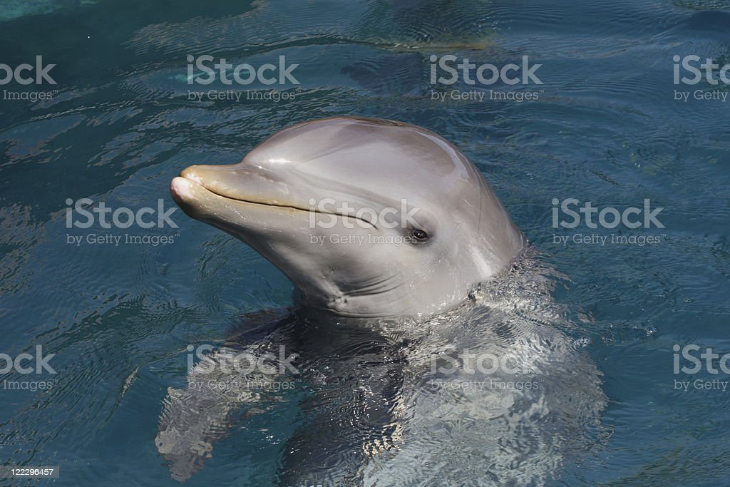Wild bottlenose dolphin (Turisops Truncatus) stock photo