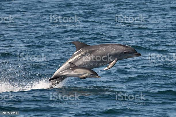 Wild Bottlenose Dolphin with a Common Dolphin calf rare to see
