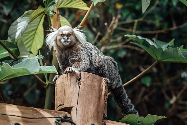 wild brazilian marmoset monkey looking from wooden fence wild Brazilian monkey sitting on wooden fence, looking into the camera common marmoset stock pictures, royalty-free photos & images