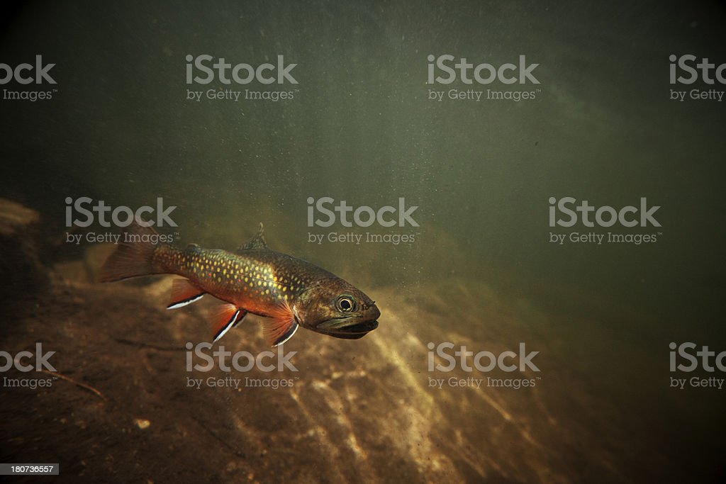 Wild Brook Trout Underwater stock photo