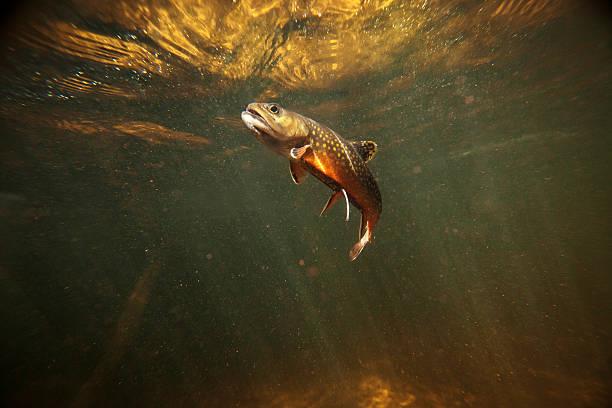 Wild Bachforelle Unterwasser – Foto