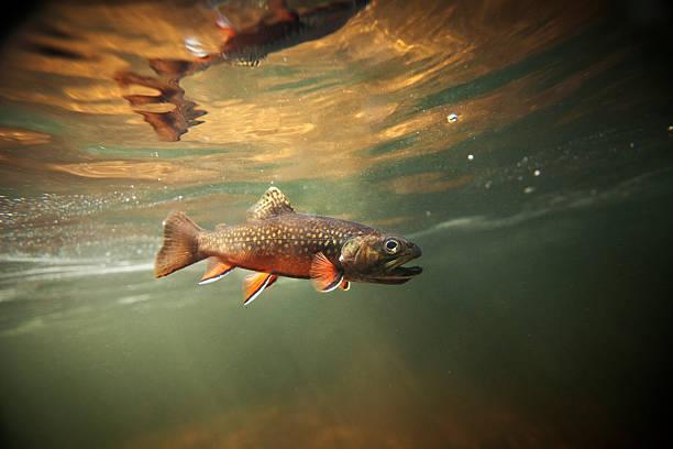 Wild Brook Trout Underwater stock photo