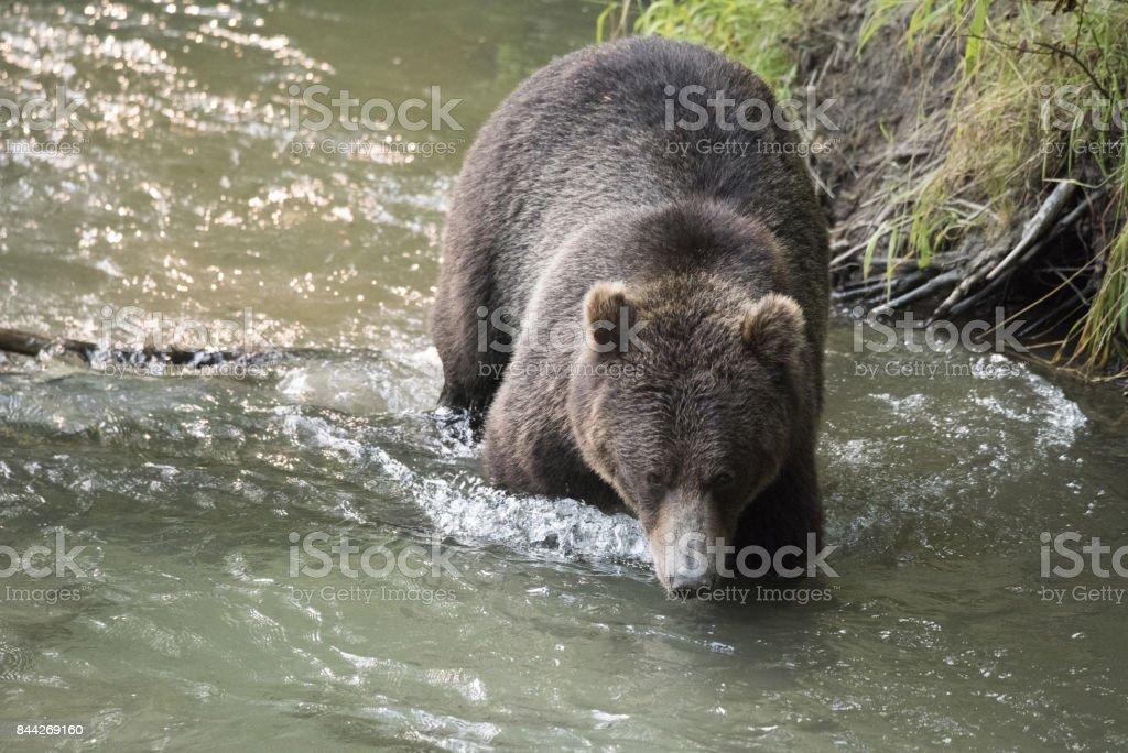 Wild brown bear close-up stock photo