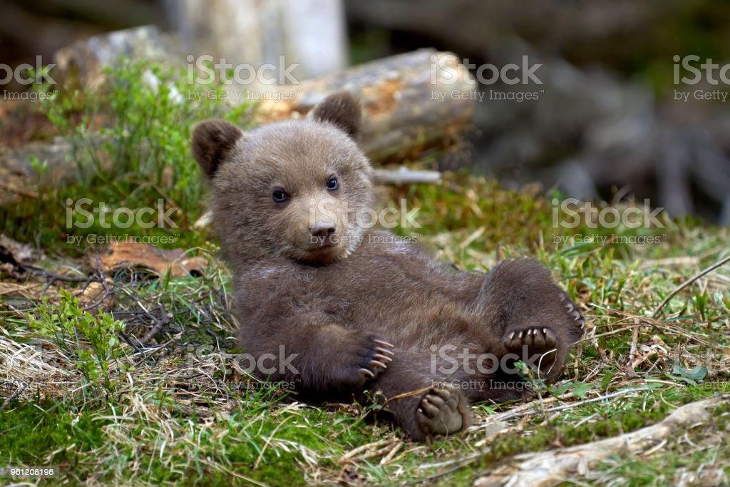Wild brown bear cub closeup stock photo