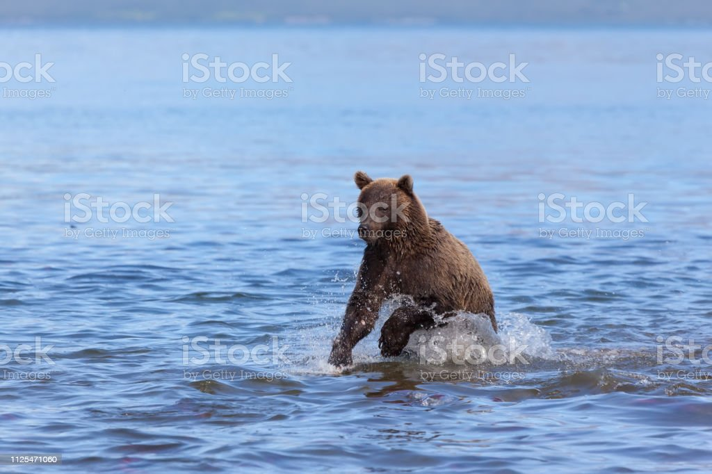A wild brown bear grizzly fishing. The bear rusn in water in Kuril...