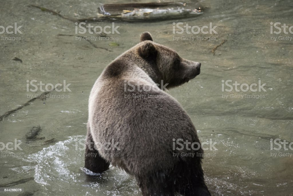 Wild brown bear looking for salmon stock photo