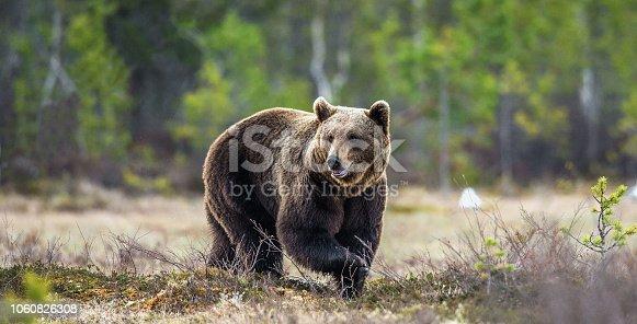 Wild Brown Bear on the bog in spring forest. Scientific name:  Ursus arctos.