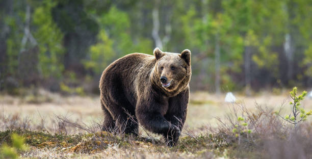 Wild Brown Bear on the bog in spring forest. stock photo
