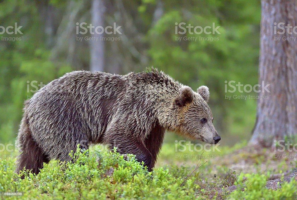 Wild Brown bear stock photo