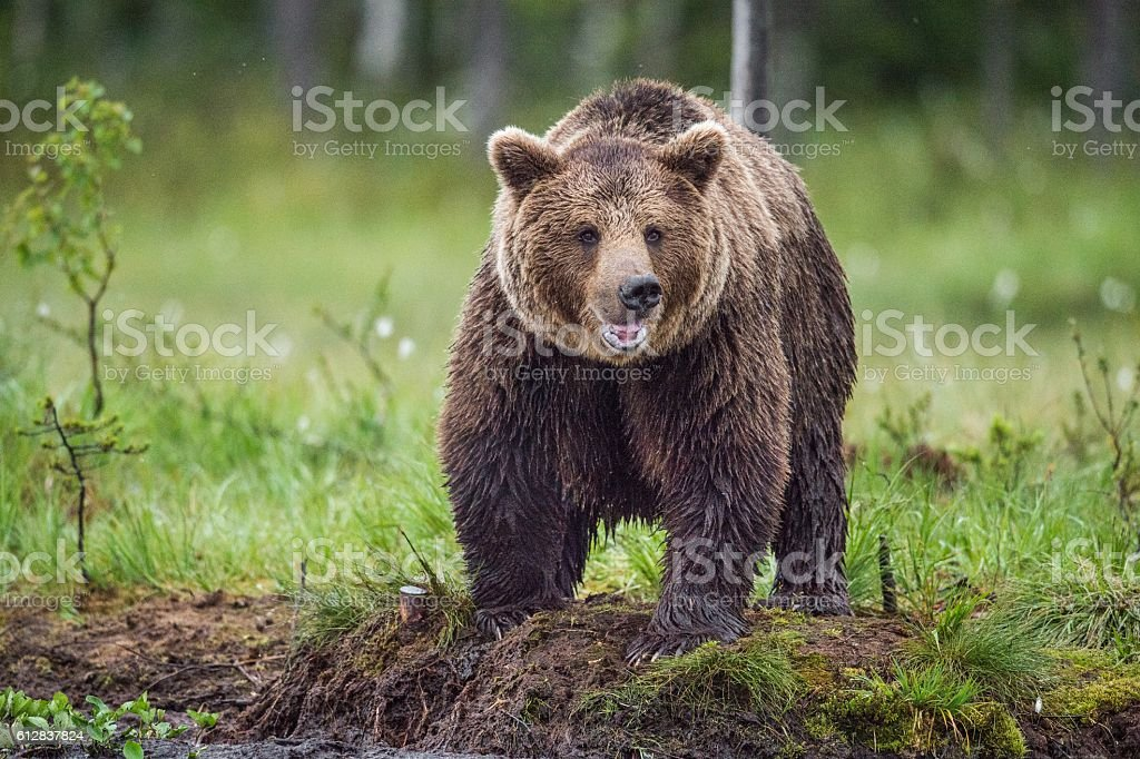 Wild Brown bear – Foto