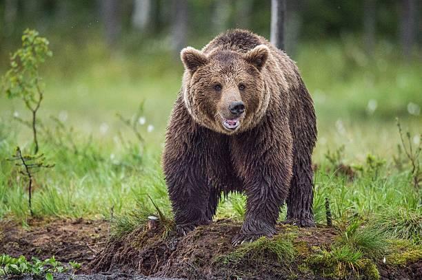 wild brown bear - siberië stockfoto's en -beelden