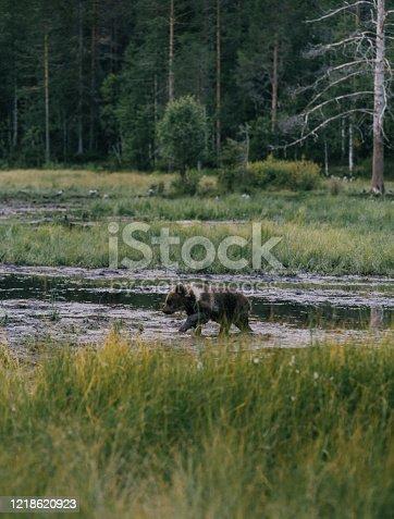 Wild brown bear walking  in forest in Finnish Lapland