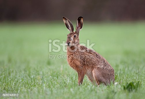 istock Wild brown hare sitting in a grass 505243312