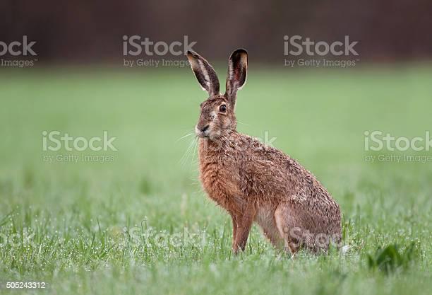Wild brown hare sitting in a grass picture id505243312?b=1&k=6&m=505243312&s=612x612&h=cwi sbp9br1kjmiojnezdzztlnyvtbcxfgchp aqrxu=