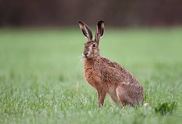Wild brown hare sitting in a grass stock photo