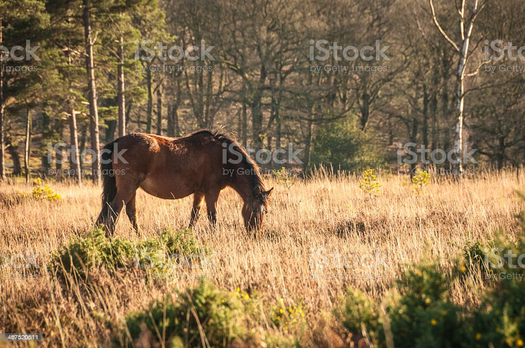 Wild Brown Horse grazing, The New Forest National Park England stock photo