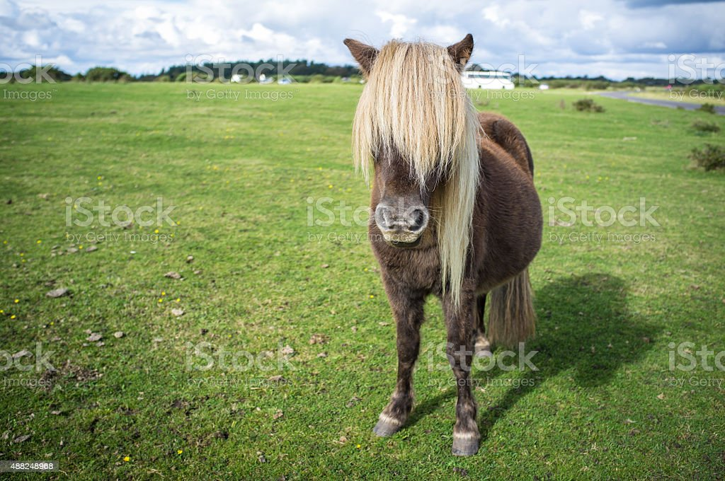 Wild brown pony grazing at The New Forest, Hampshire, England stock photo