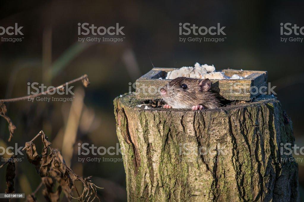 UK Wild Brown Rat stock photo