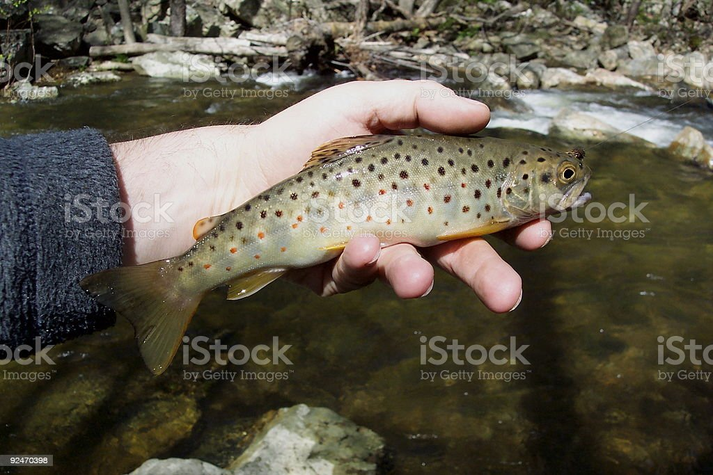 Wild Brown Trout stock photo
