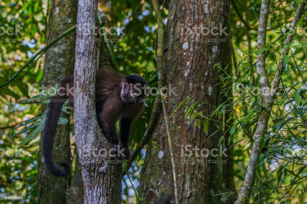 Wild Brown-Capped Capuchin in Iguazu National Park in South America stock photo