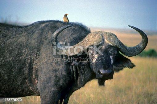 Wild buffalo and oxpecker, Cape Buffalo (Syncerus Caffer) is a bovid from the family of the Bovidae. Masaai Mara Reserve, Kenya