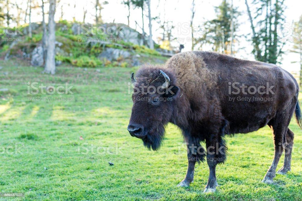 Wild buffalo or bison. stock photo