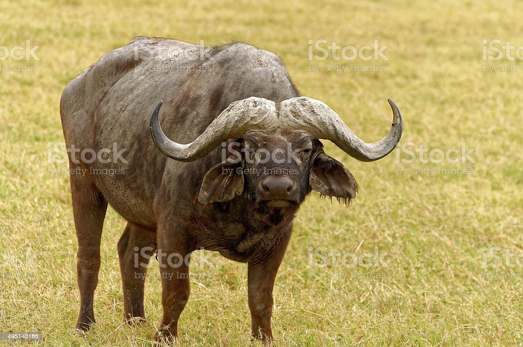 Wild buffaloes grazing in the African plains stock photo