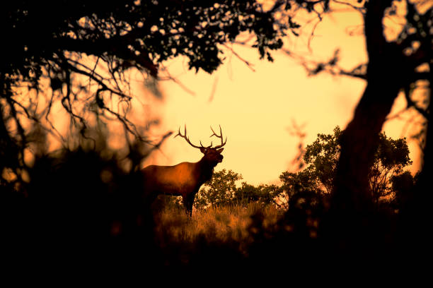 Wild Bull Elk stock photo