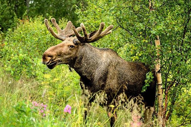 wild bull moose in autumn, - älg sverige bildbanksfoton och bilder