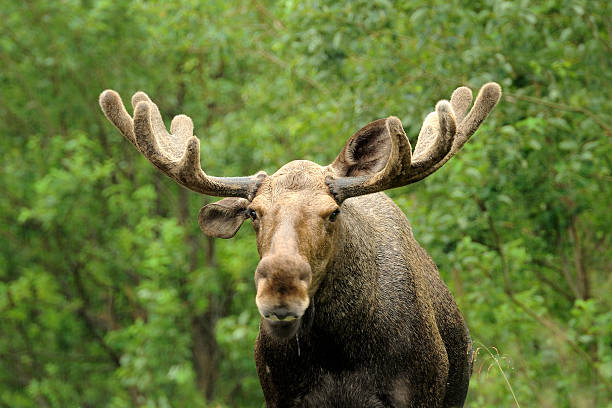 Wild Bull Moose in autumn, stock photo