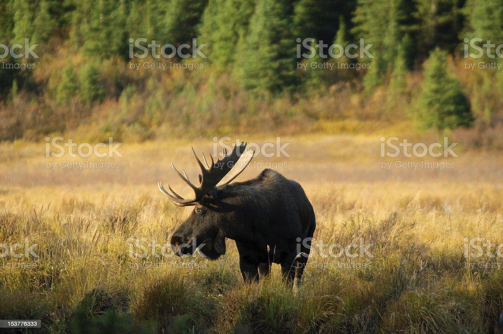 Wild Bull Moose stock photo
