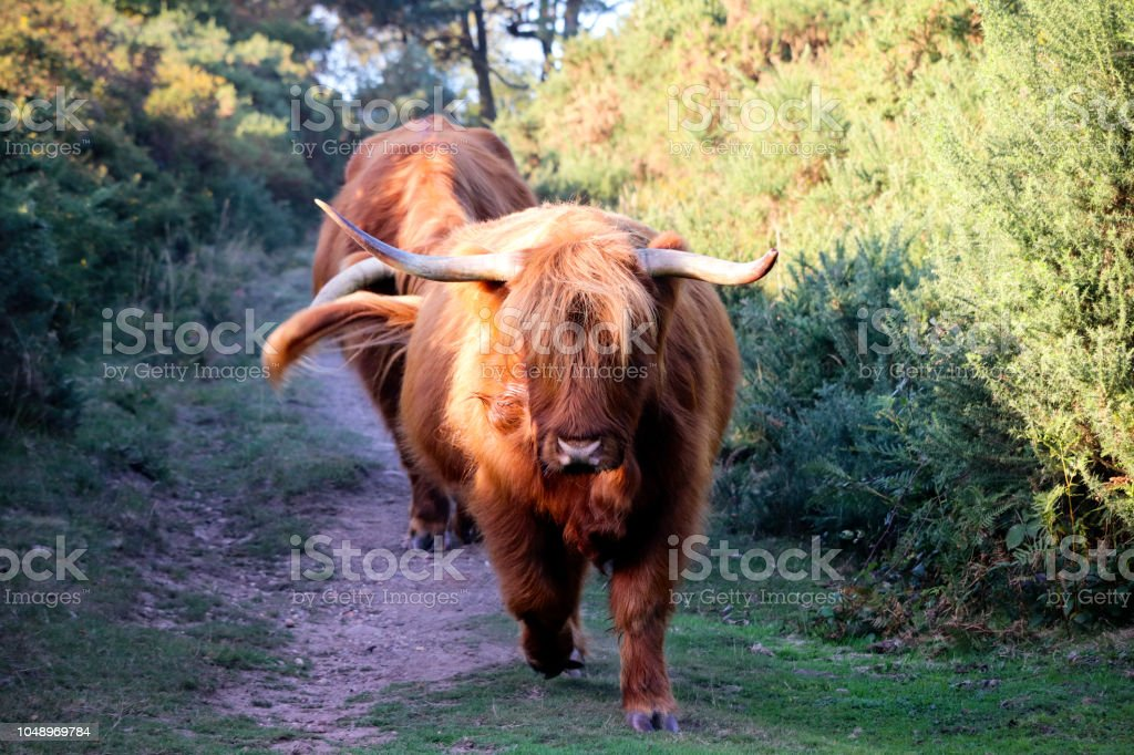 Wild bull with horns stock photo