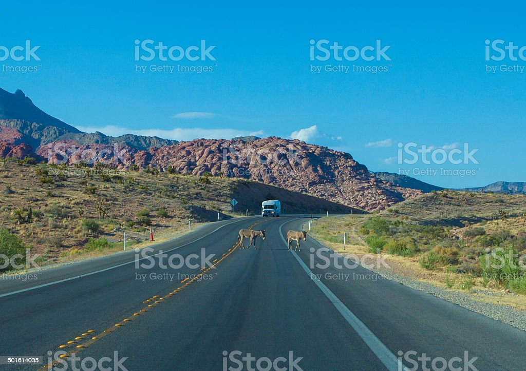 Wild Burro Crossing the Road in the Las Vegas Desert royalty-free stock photo