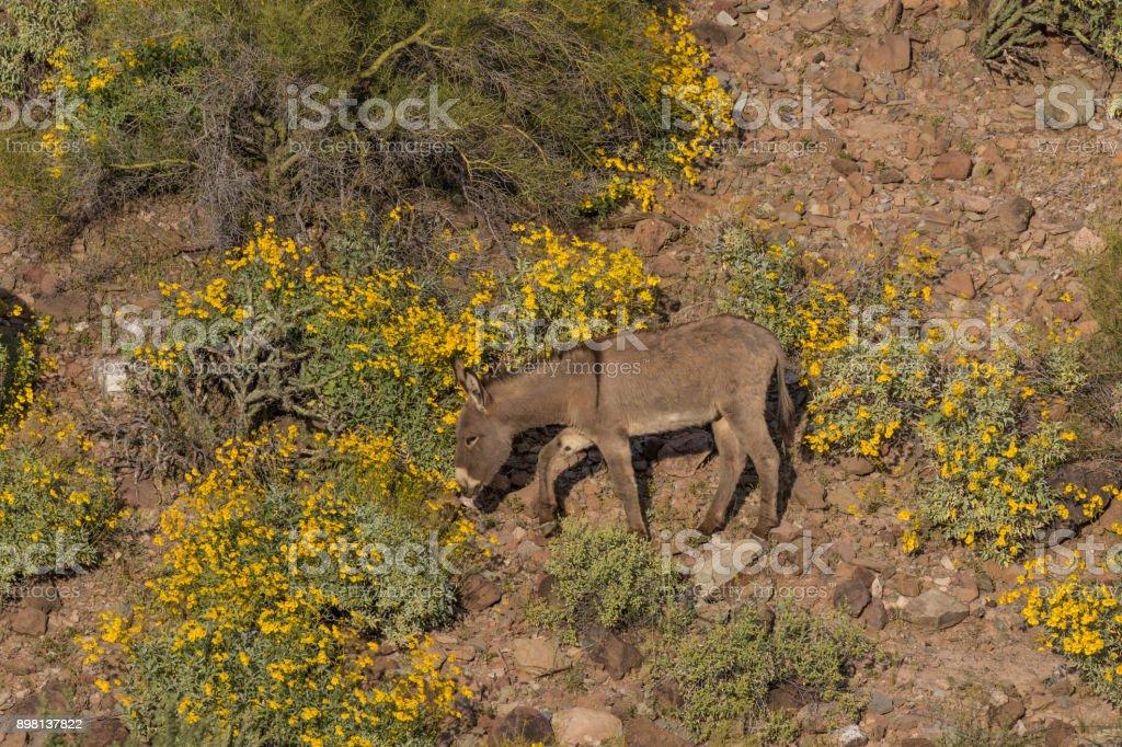 Burro selvagem no Arizona - foto de acervo