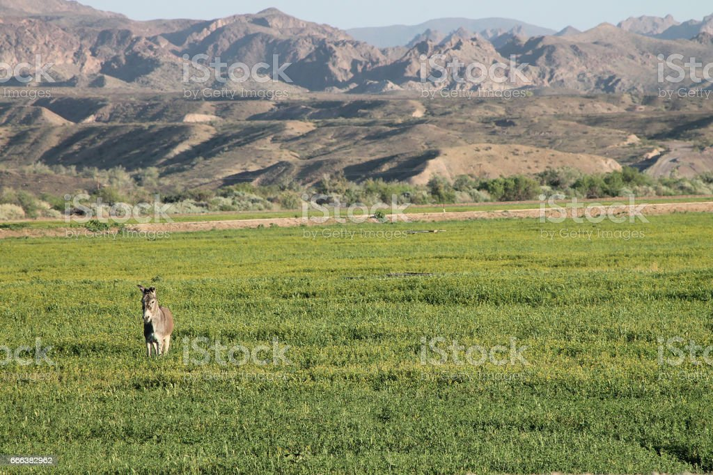 wild burro in field 1 stock photo